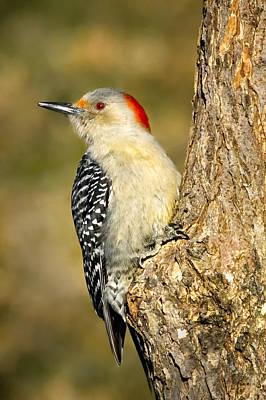Female Red-bellied Woodpecker Print by Bill Wakeley