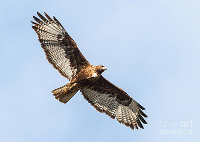 Female Red-tailed Hawk Print by Carl Jackson