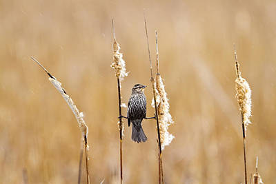 Wildlife Photograph - Female Red-winged Blackbird Acrobatics by Ricky L Jones