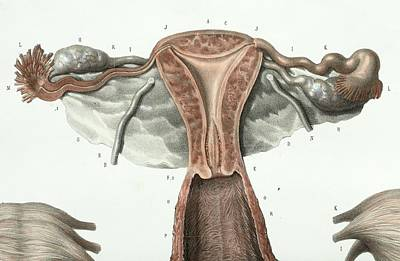 1839 Photograph - Female Reproductive System by Science Photo Library