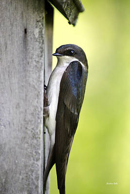 Tree Swallow Photograph - Female Tree Swallow On Nestbox by Christina Rollo