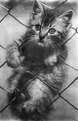 Of Cats Photograph - Fenced In Kitten by Underwood Archives