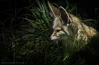 Fox Photograph - Fennec Fox Spotted On His Nightly Prowl by LeeAnn McLaneGoetz McLaneGoetzStudioLLCcom