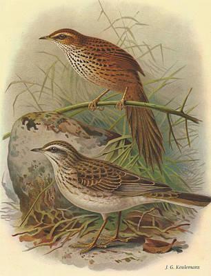 Fernbird And New Zealand Pipit Print by J G Keulemans