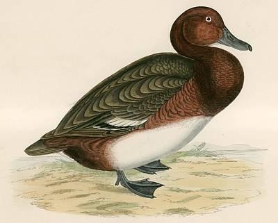 Duck Drawing - Ferruginous Duck by Beverley R Morris