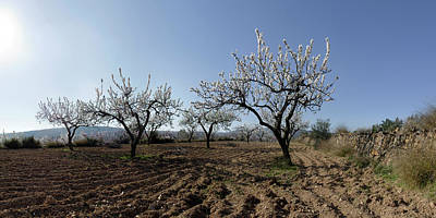 Almond Tree Photograph - Field Of Blooming Almond Trees by Panoramic Images