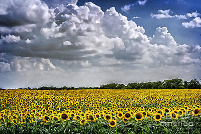 Field Of Sunflowers Print by Tamyra Ayles
