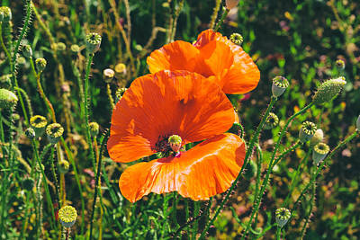 A Sunny Morning Photograph - Field Poppies by Georgia Fowler