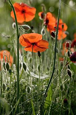Spiderweb Photograph - Field Poppy (papaver Rhoeas) Flowers by Bob Gibbons