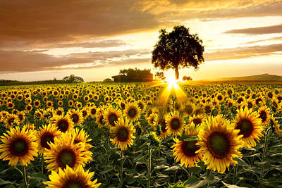 Sunflower Field Photograph - Fields Of Gold by Debra and Dave Vanderlaan