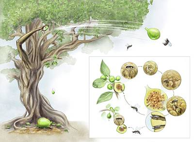 Fig Tree-wasp Life Cycle Print by Nicolle R. Fuller