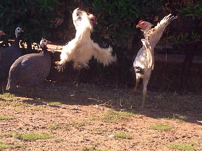 Fight Turkeys Original by King Photos
