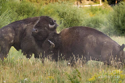 Fighting Bison Print by Mike Cavaroc