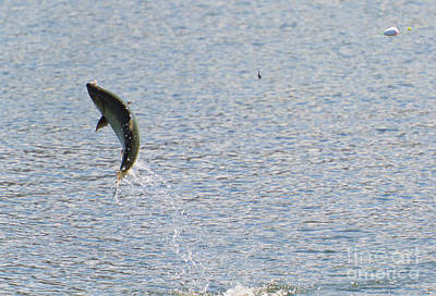 Salmon Photograph - Fighting Chinook Salmon by Mike  Dawson