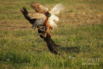 Pheasant Photograph - Fighting Pheasants by Helmut Pieper