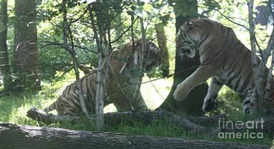 Fighting Siberian Tigers Print by John Telfer