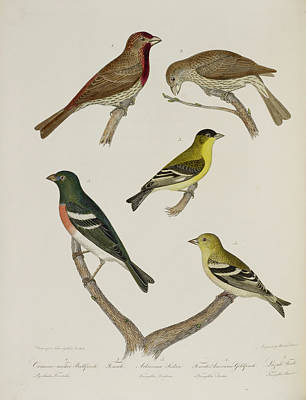 Siskin Photograph - Finches by British Library