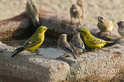 Canary Photograph - Finches Feeding At A Waterbath by Bob Gibbons