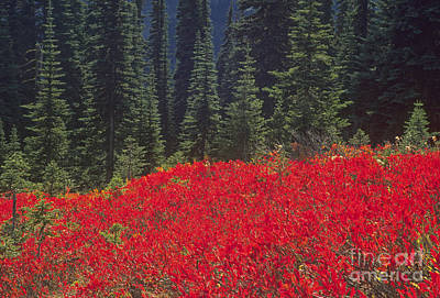 Fir Trees And Fall Color Print by Richard and Ellen Thane