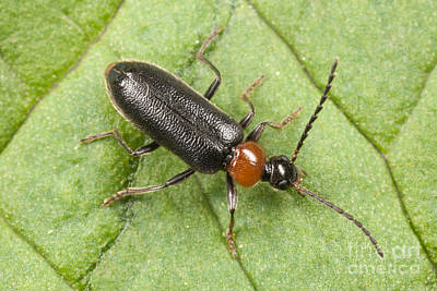 Beetle Photograph - Fire-colored Beetle by Clarence Holmes