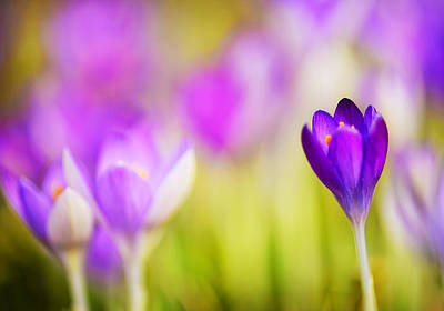 First Sign Of Spring - The Crocus Print by Vicki Jauron
