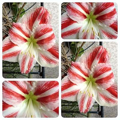 Flower Photograph - First Time Ever For My Amaryllis To by Teresa Mucha
