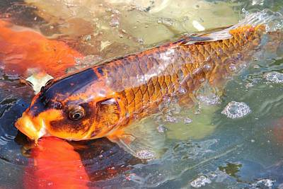 Goldfish Digital Art - Fish In A Pond by Cynthia Guinn