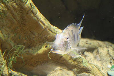 Fish - National Aquarium In Baltimore Md - 121248 Print by DC Photographer