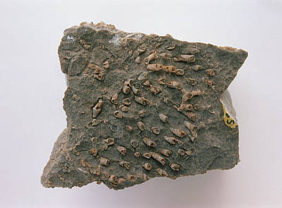 Fish Plate Fossils In Kaibab Limestone Print by Dorling Kindersley/uig
