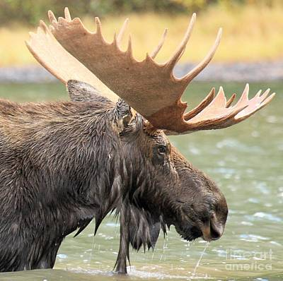 Moose In Water Photograph - Fishercap Lake Moose by Adam Jewell