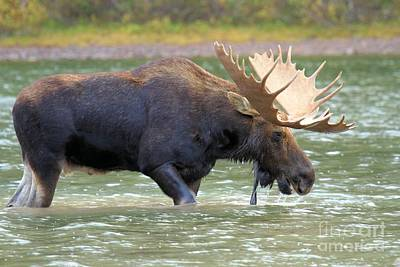 Moose In Water Photograph - Fishercap Lunch by Adam Jewell