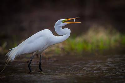 Fishing Egret Print by Chris Hurst