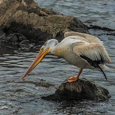 Bif Photograph - Fishing Pelican by Paul Freidlund