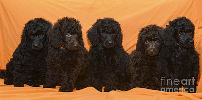 Facing Photograph - Five Poodle Puppies  by Amir Paz