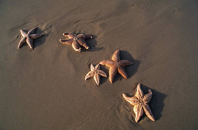 Five Starfish Washed Ashore Print by Norbert Rosing