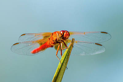 Firecracker Photograph - Flame Skimmer Dragonfly Drying by Michael Qualls