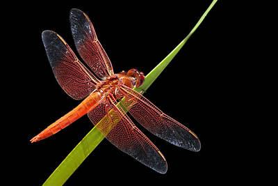 Firecracker Photograph - Flame Skimmer - Dragonfly by Nikolyn McDonald