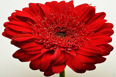 Sunburst Floral Still Life Photograph - Flaming Red Zinnia by Sherry Allen
