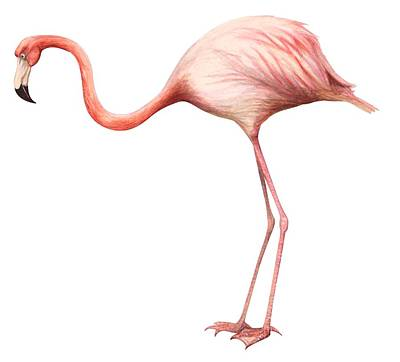 Flamingo Print by Anonymous