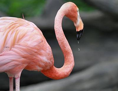 D Wade Photograph - Flamingo Drinking by Dan Sproul