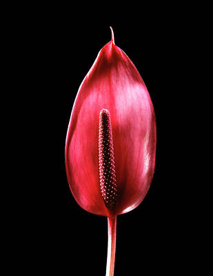 Anthurium Photograph - Flamingo Flower (anthurium Andreanum) by Gilles Mermet