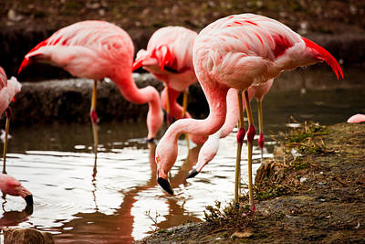 Pink Flamingo Nature Photograph - Flamingo Food Search by Pati Photography