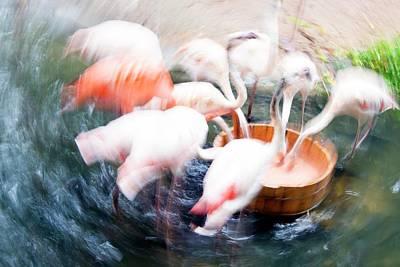 Flamingos Feeding Print by Pan Xunbin