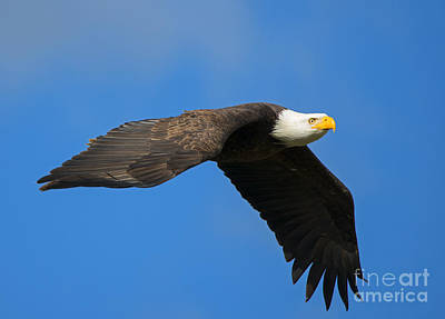 American Bald Eagle Photograph - Flaps Down by Mike Dawson