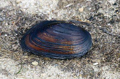 Flattened Filter Clam Print by Andrew J. Martinez