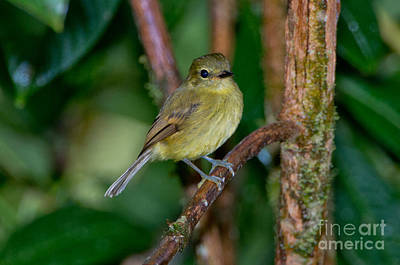 Flycatcher Photograph - Flavescent Flycatcher by Anthony Mercieca