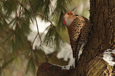 Woodpeckers Photograph - Flicker by Everet Regal