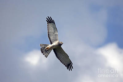 Hawk Photograph - Flight Of The Harrier by Mike  Dawson