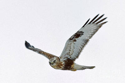 Hawk Photograph - Flight Of The Hawk by Natural Focal Point Photography