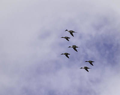 Flight Of The Pintails 1 Print by Thomas Young